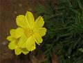 Cosmos sulphureus Yellow.jpg