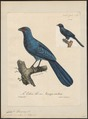 Coua caeruleus - 1825-1834 - Print - Iconographia Zoologica - Special Collections University of Amsterdam - UBA01 IZ18800123.tif