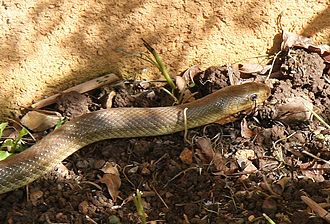 Aesculapian snake - Lightly colored adult.