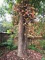 Couroupita guianensis - Cannon Ball Tree at Peravoor (48).jpg