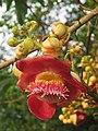 Couroupita guianensis - Cannon Ball Tree at Peravoor (56).jpg