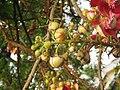 Couroupita guianensis - Cannon Ball Tree at Peravoor (80).jpg