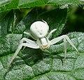 Crab Spider. Misumena vatia. Thomisidae. - Flickr - gailhampshire (1).jpg
