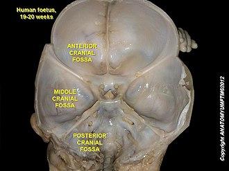 Middle cranial fossa - Image: Cranial endobasis of a 19 20 weeks foetus 2