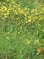 Crepis conyzifolia01.jpg