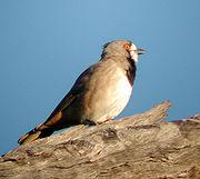 Crested Bellbird male mulgaview apr04.jpg