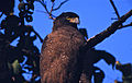 Crested Serpent Eagle (Spilornis cheela) (20032138778).jpg