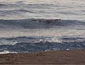 Crocodylus porosus foraging in surf at Maconacon - ZooKeys-266-001-g104-top.jpg