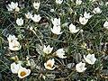 Crocus chrysanthus 'Snowbunting'.jpg