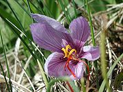 A saffron crocus flower.