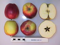 Cross section of Delorina, National Fruit Collection (acc. 1999-014).jpg