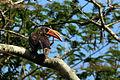 Crowned hornbill (Tockus alboterminatus) male.jpg