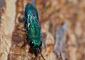 Cuckoo Wasp (Chrysididae) (11925019065).jpg