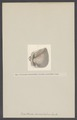Cucullaea - Print - Iconographia Zoologica - Special Collections University of Amsterdam - UBAINV0274 005 05 0049.tif