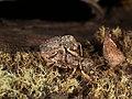 Curculionidae sp. (37788071506).jpg