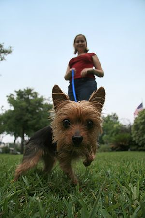 Curious Yorkshire Terrier on the leash.