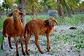 Curious lambs in Brazil.jpg