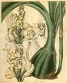 Curtis's Botanical Magazine, Plate 3116 (Volume 58, 1831).png
