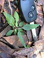 Cyanthillium cinereum leaf4 - Flickr - Macleay Grass Man.jpg