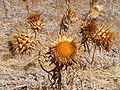 Cynara cardunculus - dried flower heads.JPG