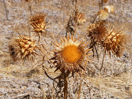 Cynara cardunculus - dried flower heads
