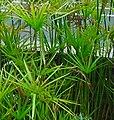 Cyperus alternifolius 2.jpg