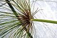 Cyperus papyrus 8zz.jpg