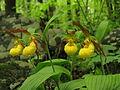 Cypripedium spec. - Flickr. 004.jpg