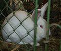 Czech Albino Rabbit1.jpg