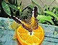 D'où pensez-vous que je tire ma couleur orange^ Parthenos sylvia. CLIPPER - panoramio.jpg
