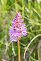 Dactylorhiza maculata in Haute-Savoie (2).jpg