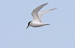 Damara Tern (8077271589) (cropped).jpg