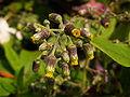 Dandelion flower buds.jpg