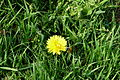 Dandelion in grass.JPG