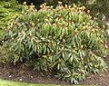 Daphniphyllum macropodum 120502-1.jpg