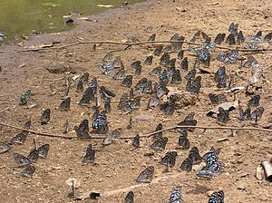 Lepidoptera migration - Tirumala septentrionis migrate in millions between Eastern Ghats and Western Ghats in India.