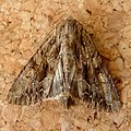 Dark Arches. Apamea monoglypha - Flickr - gailhampshire (7).jpg