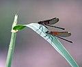 Dasmelflies (129878387).jpg