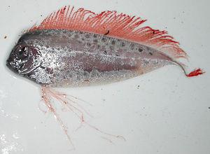 Ribbonfish - Desmodema polystictum