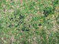Deer Droppings at Ashridge - geograph.org.uk - 1376367.jpg