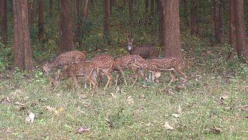 Deer Herd-Bandhipur-Karnataka-India.jpg