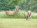 Deer at Wollaton Park - geograph.org.uk - 1381301.jpg