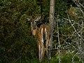 Deer in Porkkala.jpg