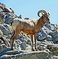 Defiant, Big Horn, Santa Rosa Mts, CA 2013 (27455908550).jpg