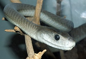 Mamba - Image: Dendroaspis polylepis (14)
