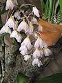 Dendrobium bronckartii2.jpg