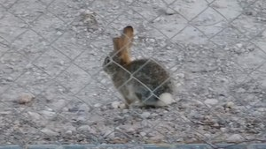 Fitxer:Desert Cottontail locomotion.webm
