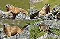 Detailshots of the marmot that was lying on the stone piramid from the preceeding photo - panoramio.jpg