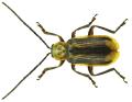 Diabrotica virgifera LeConte, 1868 (6259777667).png