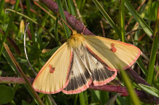 <i>Diacrisia sannio</i> Species of moth